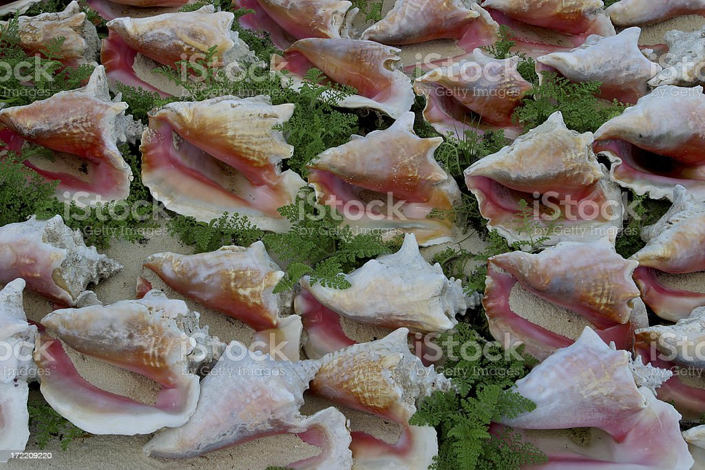 Conch Shells royalty-free stock photo