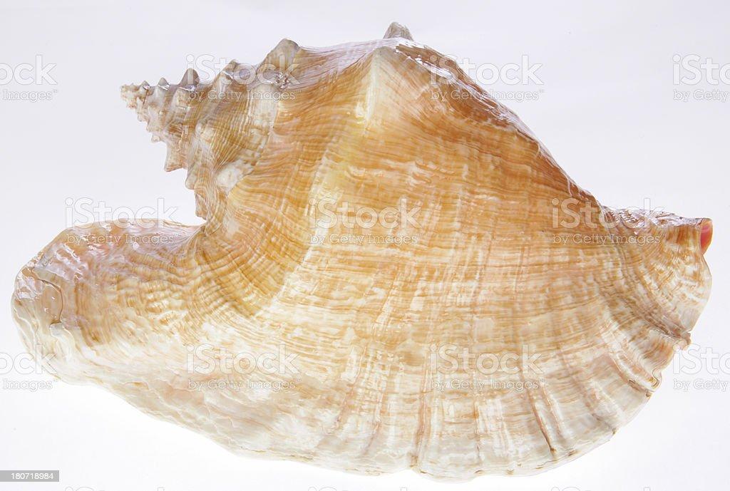 Concha Sea Shell stock photo