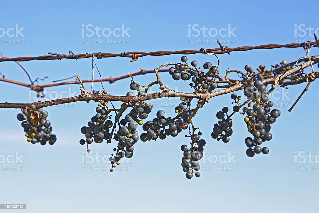 Concord Grapes Against a Blue Sky royalty-free stock photo
