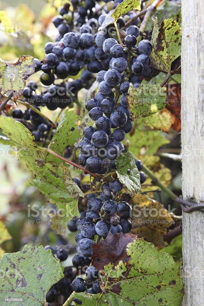 Concord grapes ready for harvest royalty-free stock photo