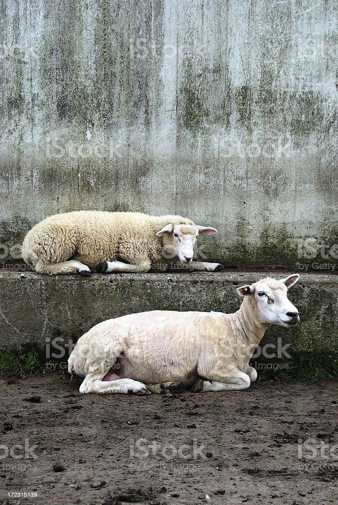 concrete and sheep stock photo