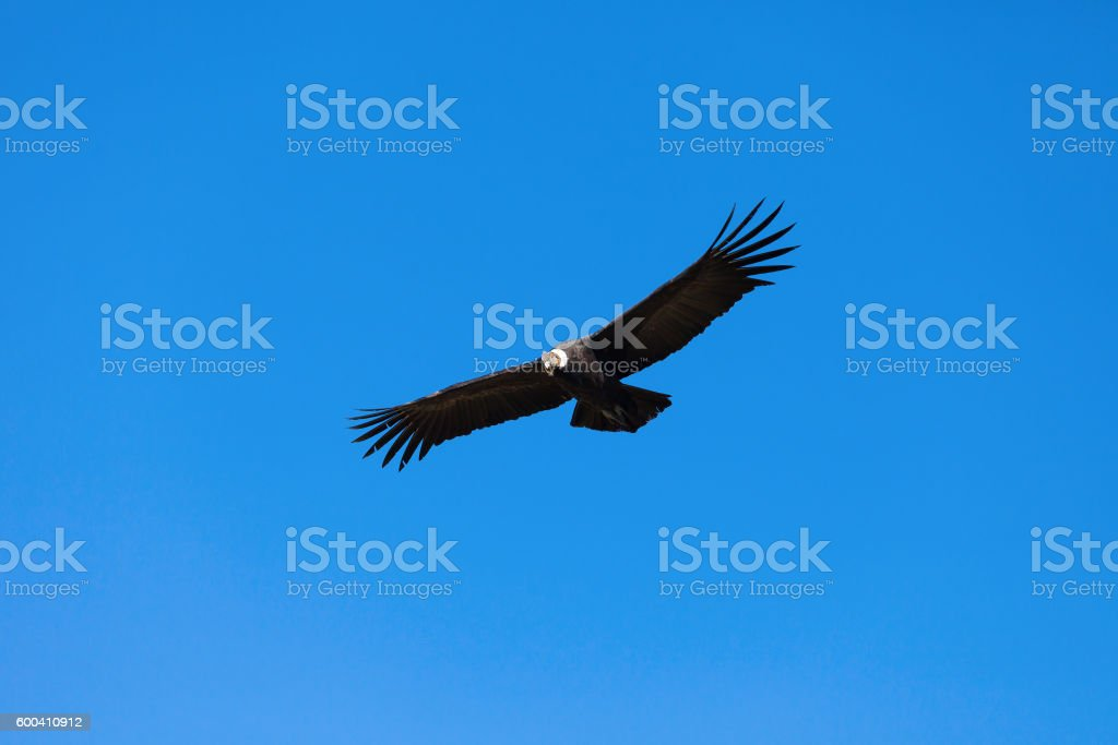 Condor flight stock photo
