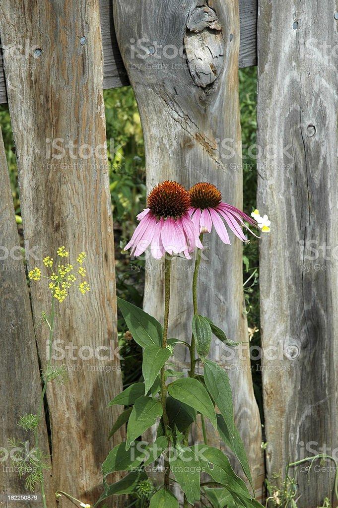 Конус цветок против Забор Стоковые фото Стоковая фотография