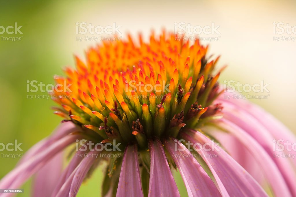 Cone Flower Close Up stock photo