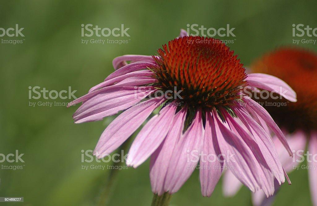 Cone Flower stock photo