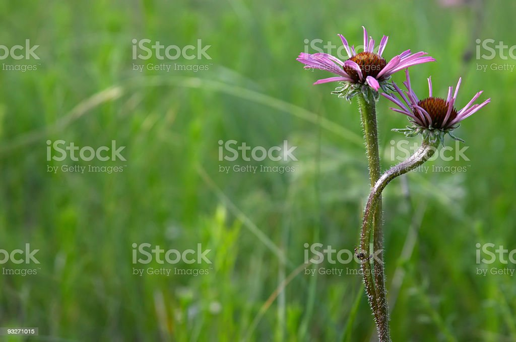 Cone Flowers royalty-free stock photo