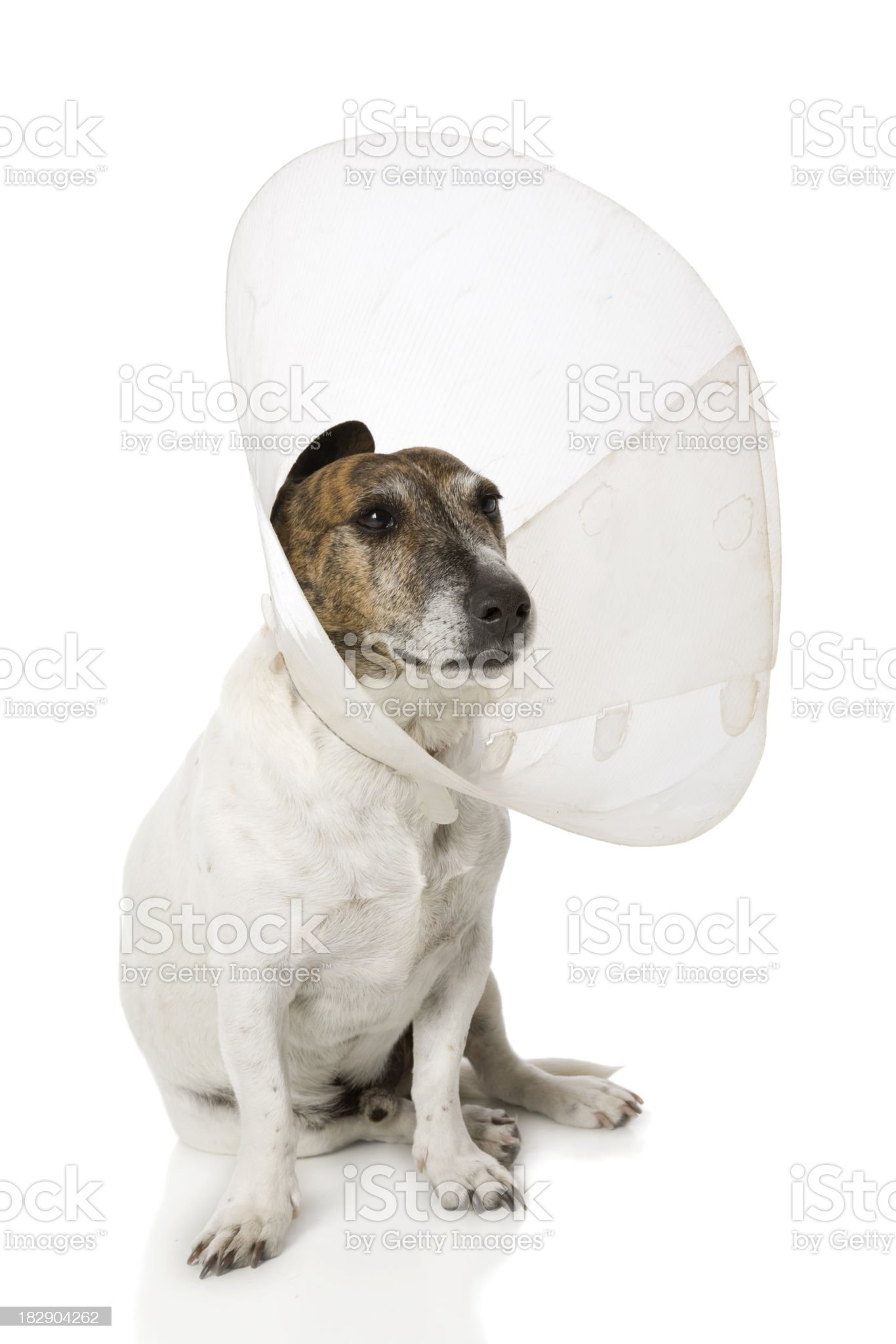 Cone Head Canine royalty-free stock photo