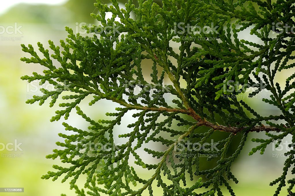 Cone Leaves royalty-free stock photo