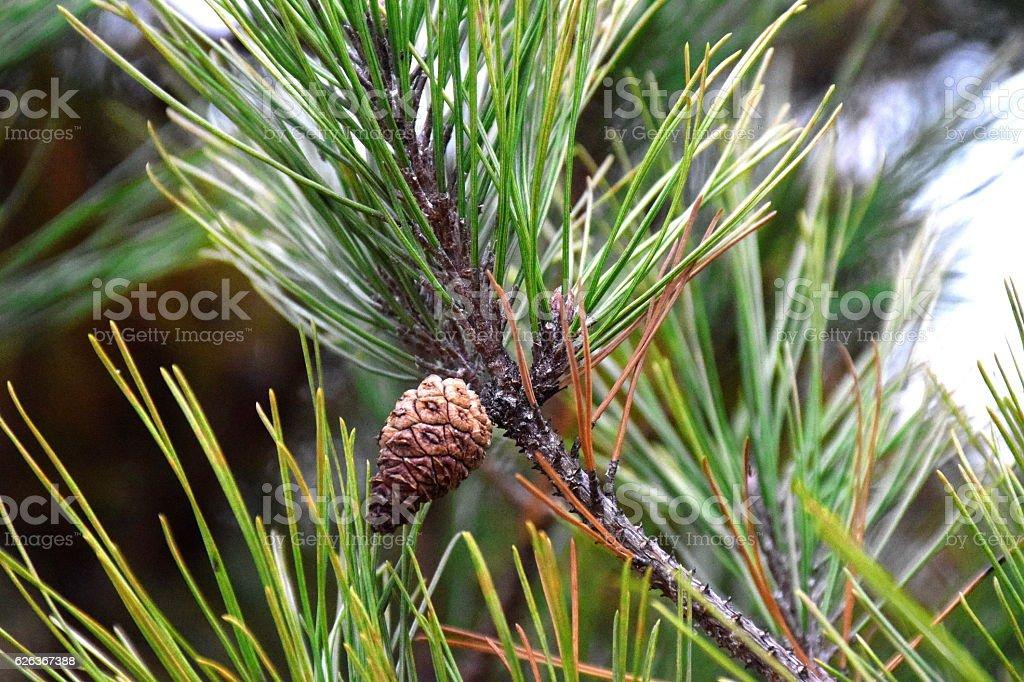 cone of pine tree in Autumn. stock photo
