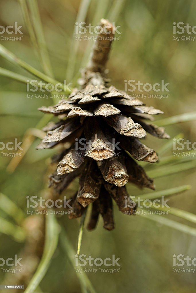 cone on pine branch royalty-free stock photo