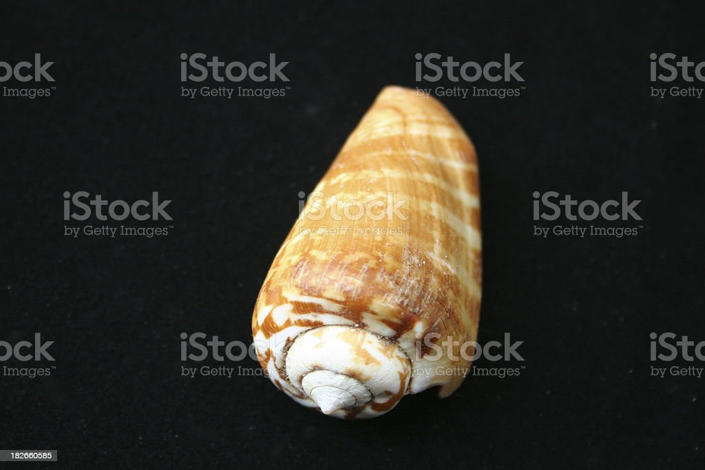 Cone shell royalty-free stock photo