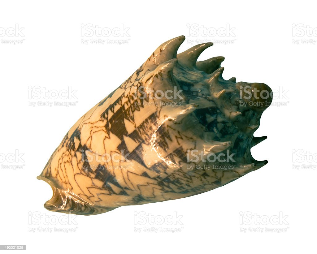 Cone snail stock photo