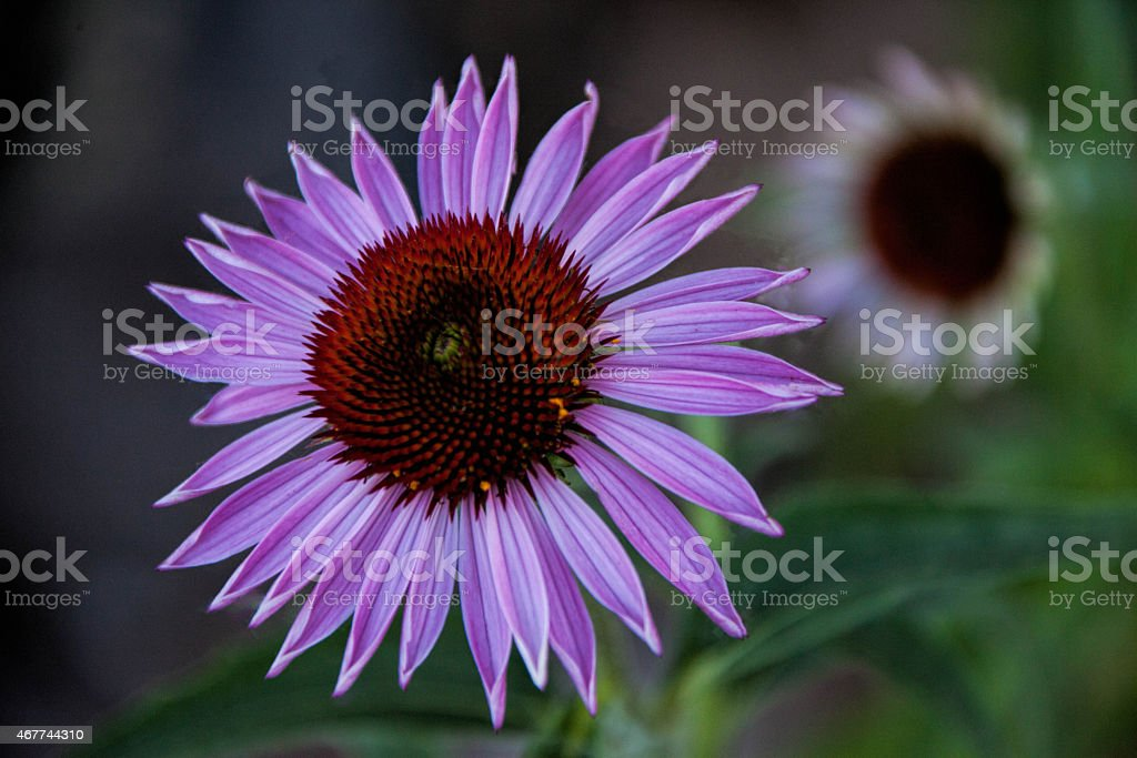 Coneflower Beauty stock photo