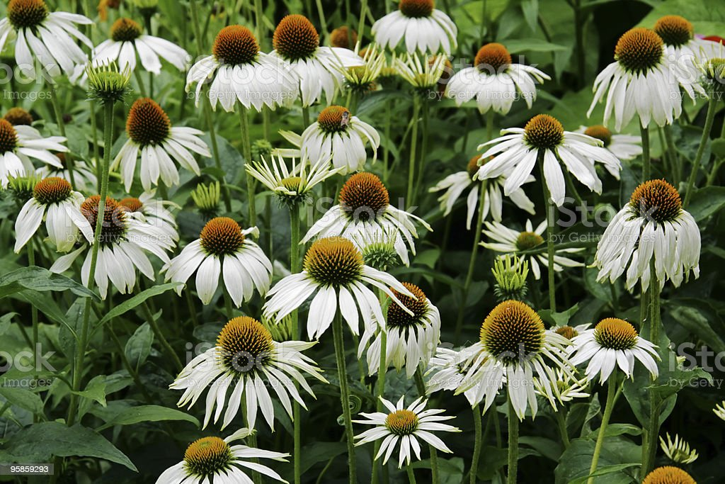 Coneflower Echinacea  'White Swan' - Herb used for herbal medicine royalty-free stock photo