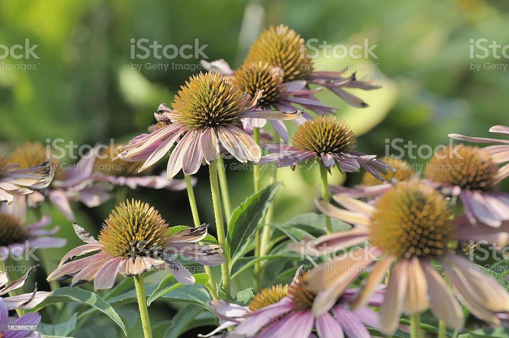 Coneflower Garden stock photo