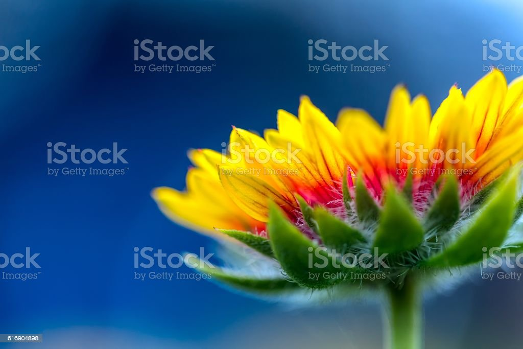 Coneflower in close up. stock photo