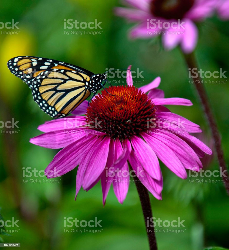 Coneflower Monarch stock photo