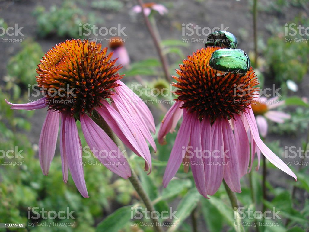 Coneflower (rudbeckia) pink and orange flowers with green chafer beetles stock photo