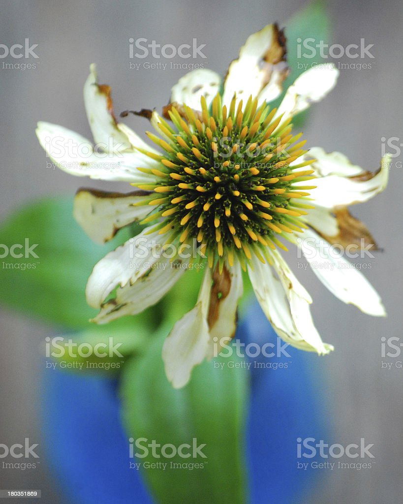 Coneflower/Echinacea yellow in blue vase from above royalty-free stock photo