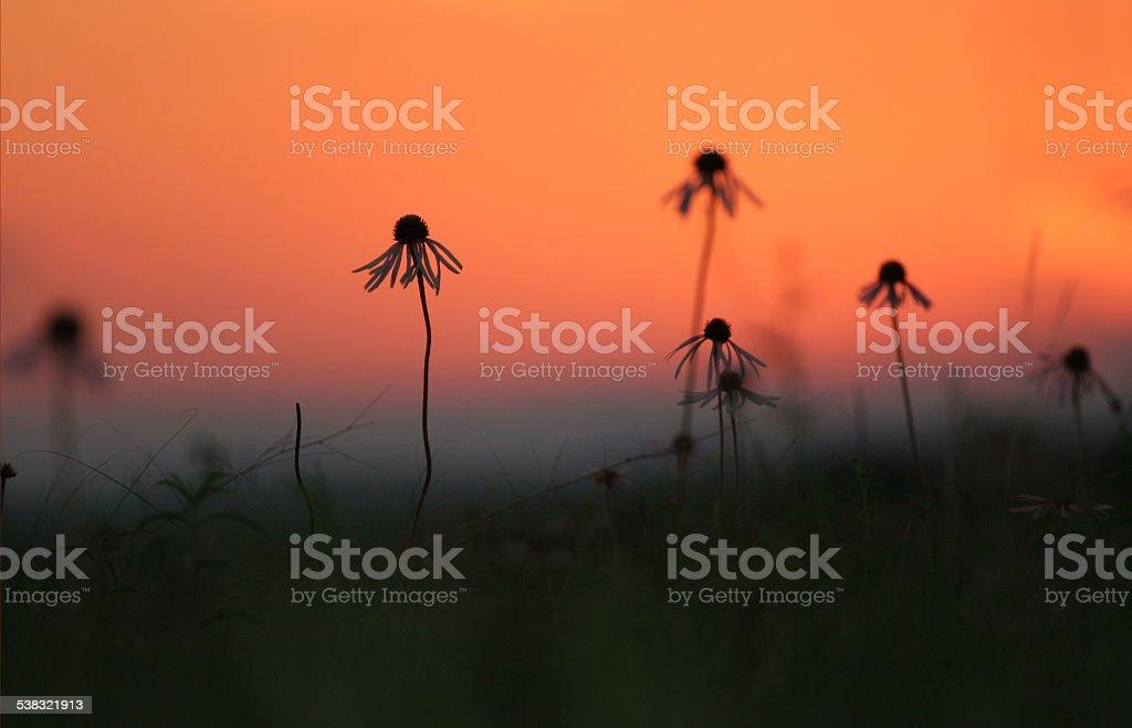 Coneflowers against sunset stock photo