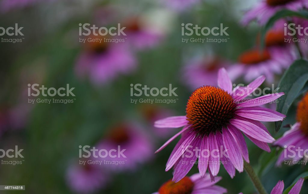 Coneflowers stock photo