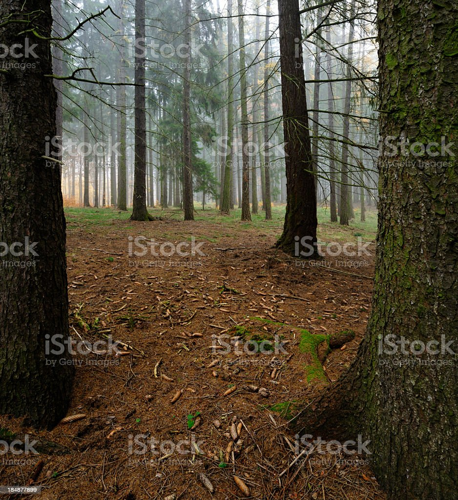 Cones in Foggy Spruce Tree Forest royalty-free stock photo