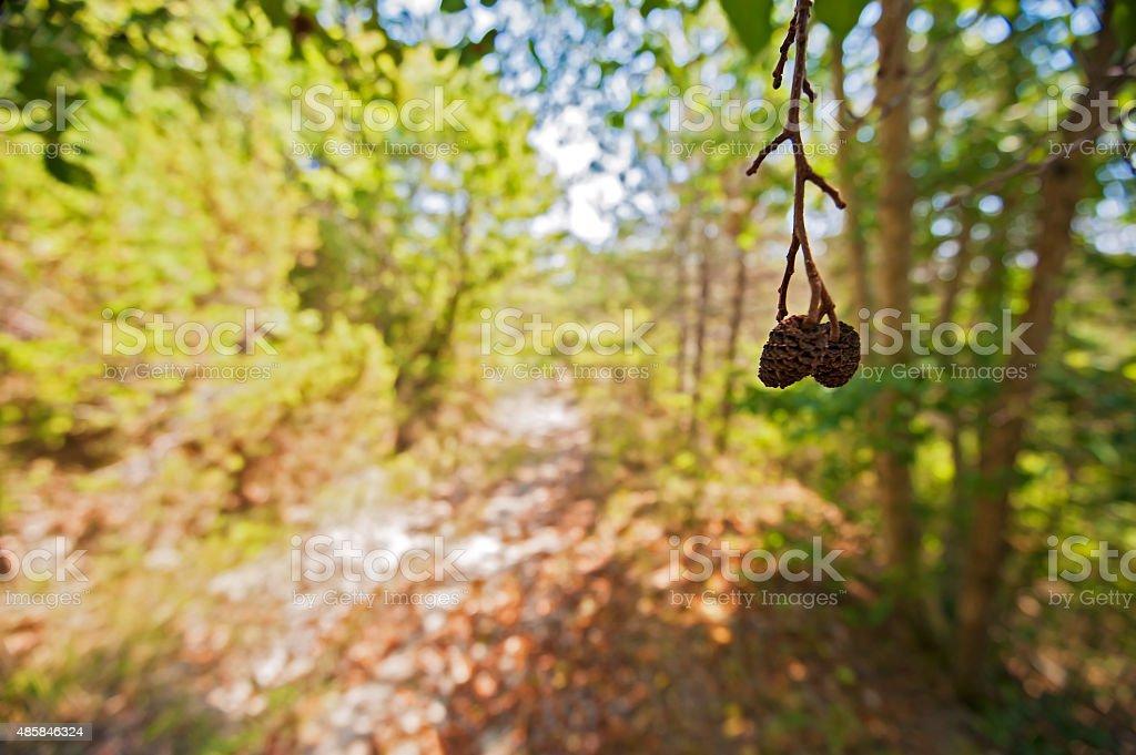 Cones of Alnus glutinosa (black alder) - Umbria, Italy stock photo