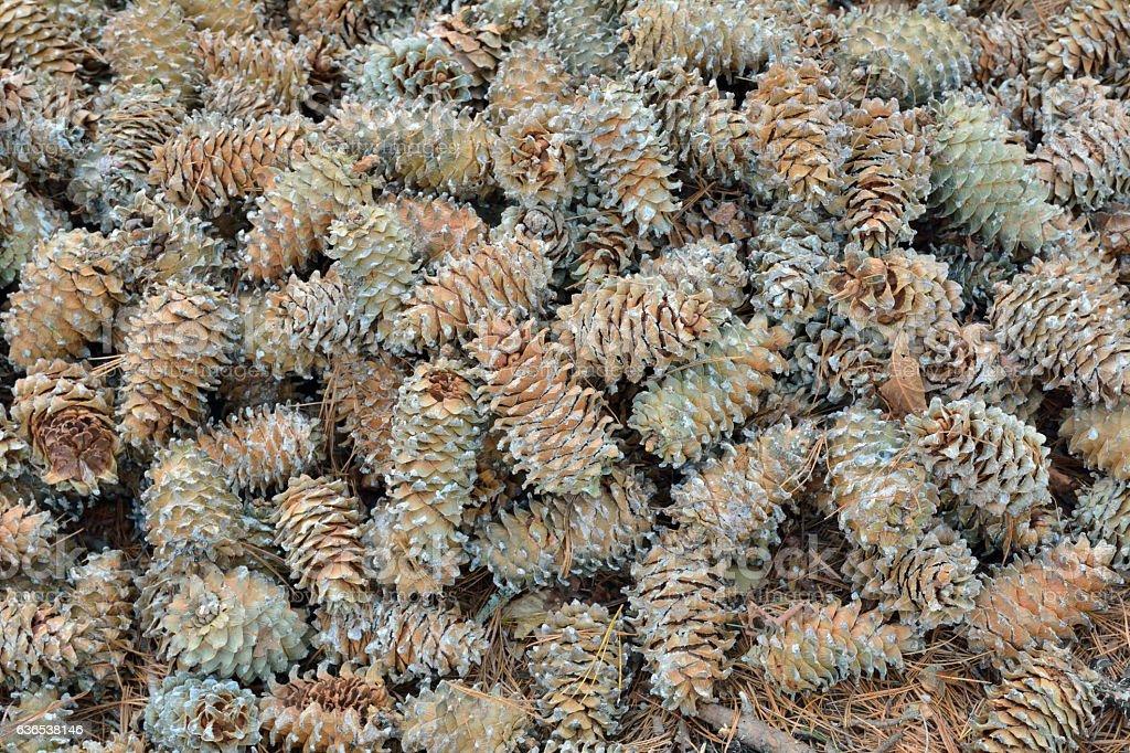 Cones of cedar pine stock photo