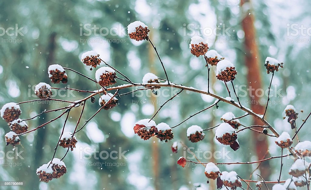 Cones On A Branch In The Snow stock photo