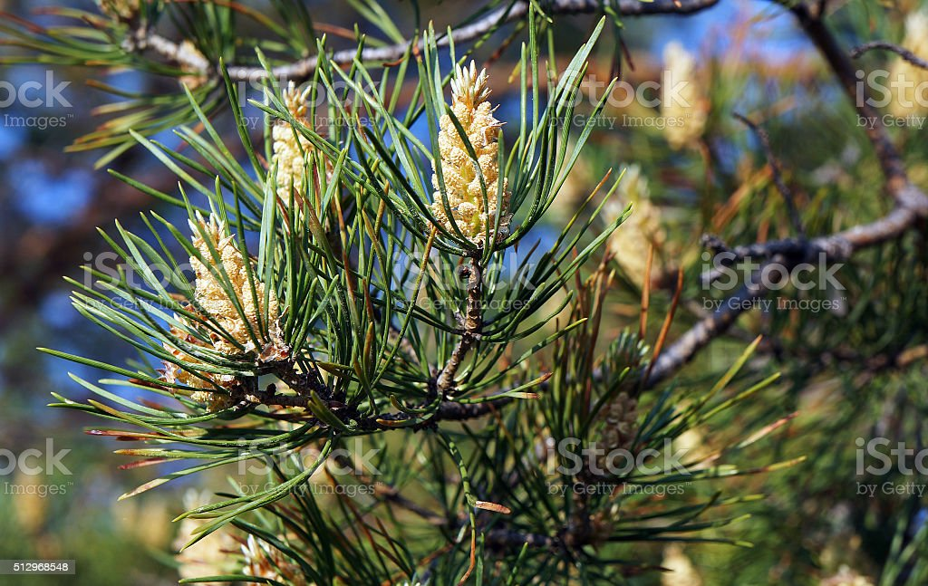 Cones on a pine tree stock photo
