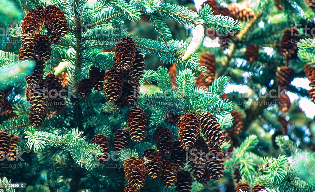 Cones on a spruce branch stock photo