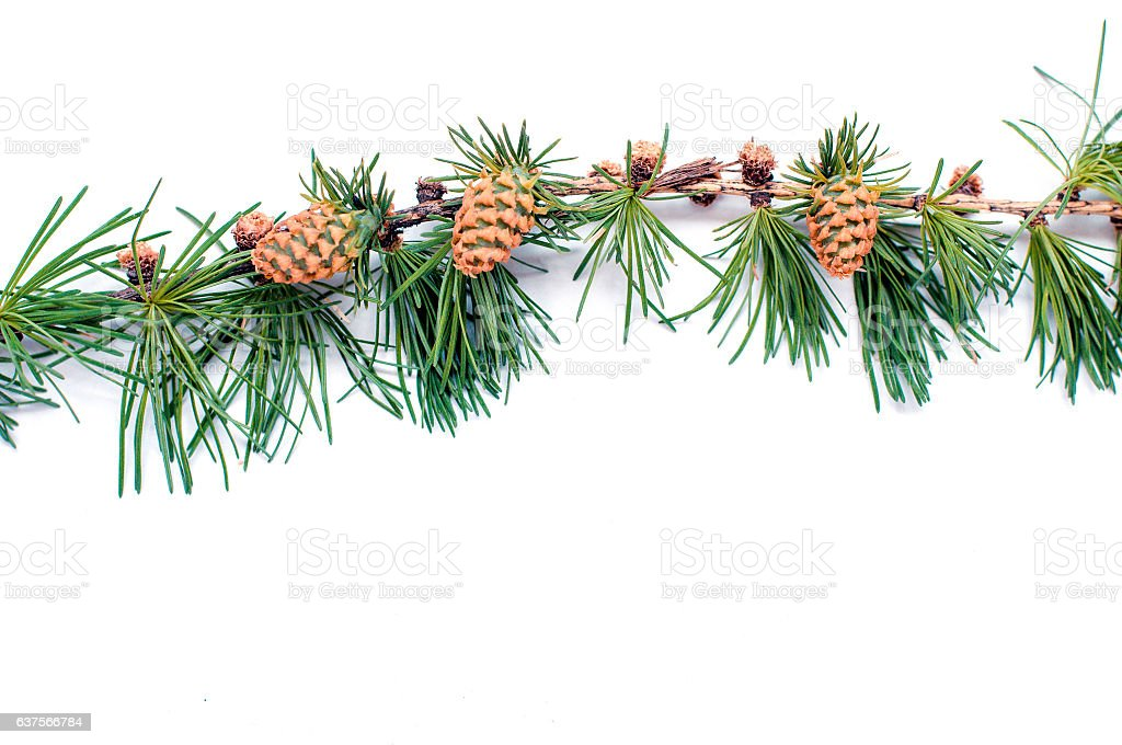 cones on branch of conifer tree isolated  white background stock photo