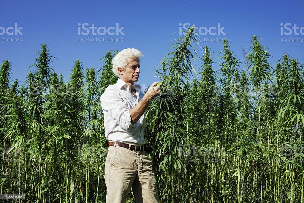 Confident entrepreneur checking hemp plants stock photo