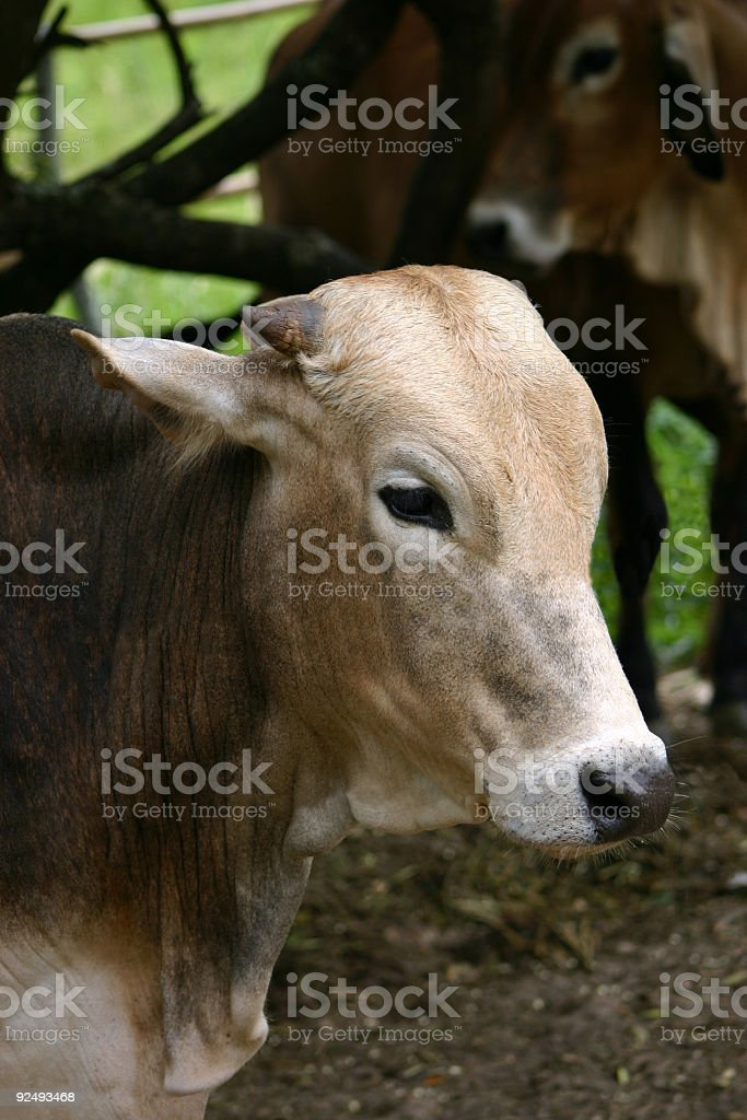 Confined bull royalty-free stock photo