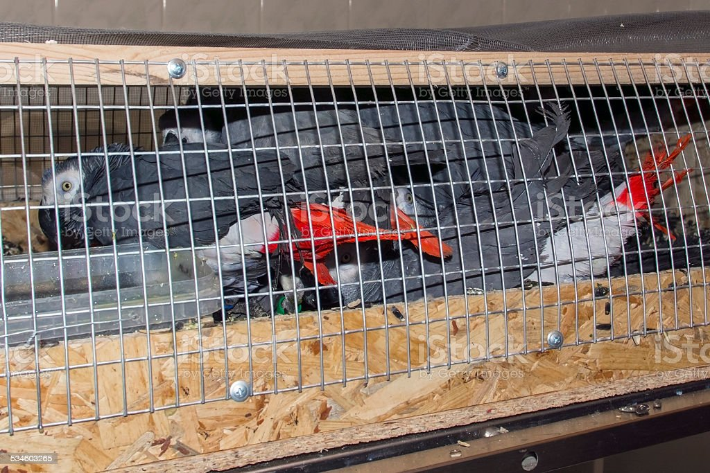Confiscated African grey parrots (Psittacus erithacus) stock photo