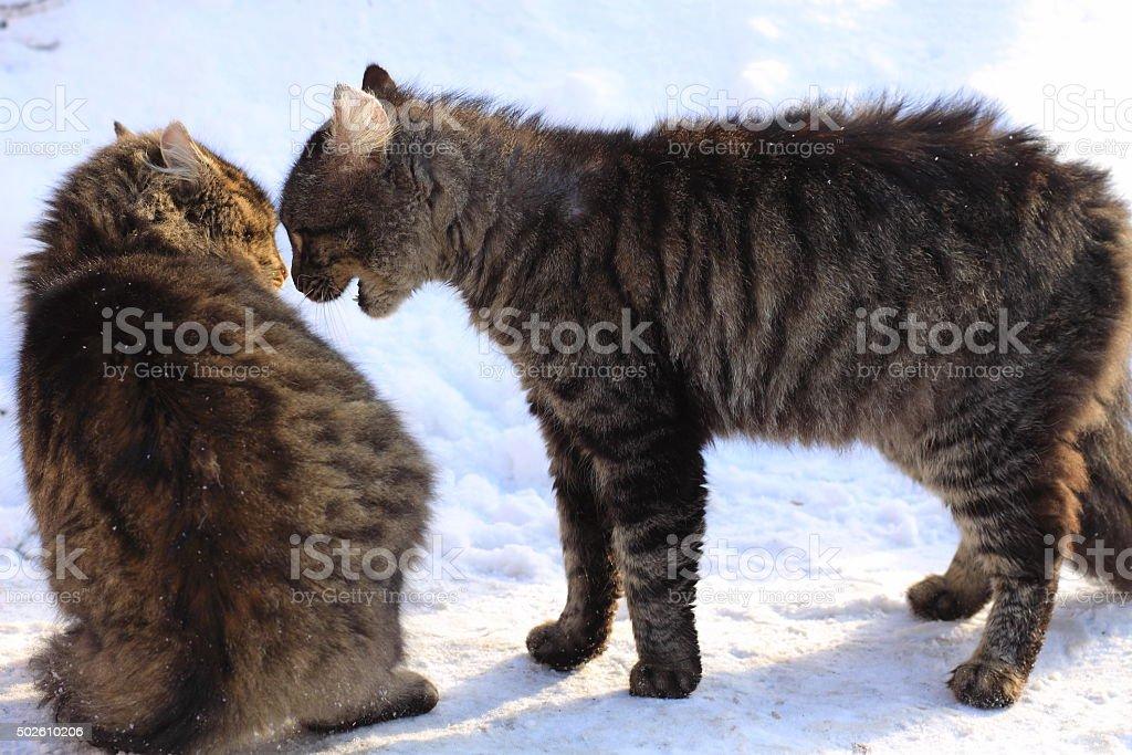 confrontation cats stock photo