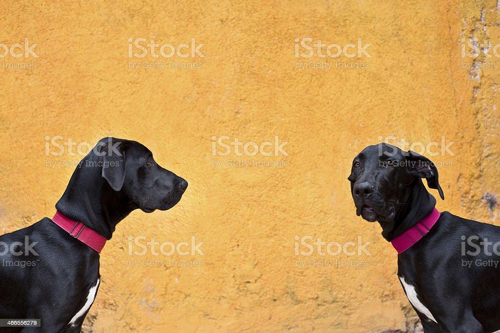 Confused Big Dane Dog royalty-free stock photo