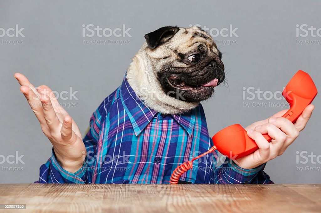 Confused pug dog with man hands holding red phone receiver stock photo