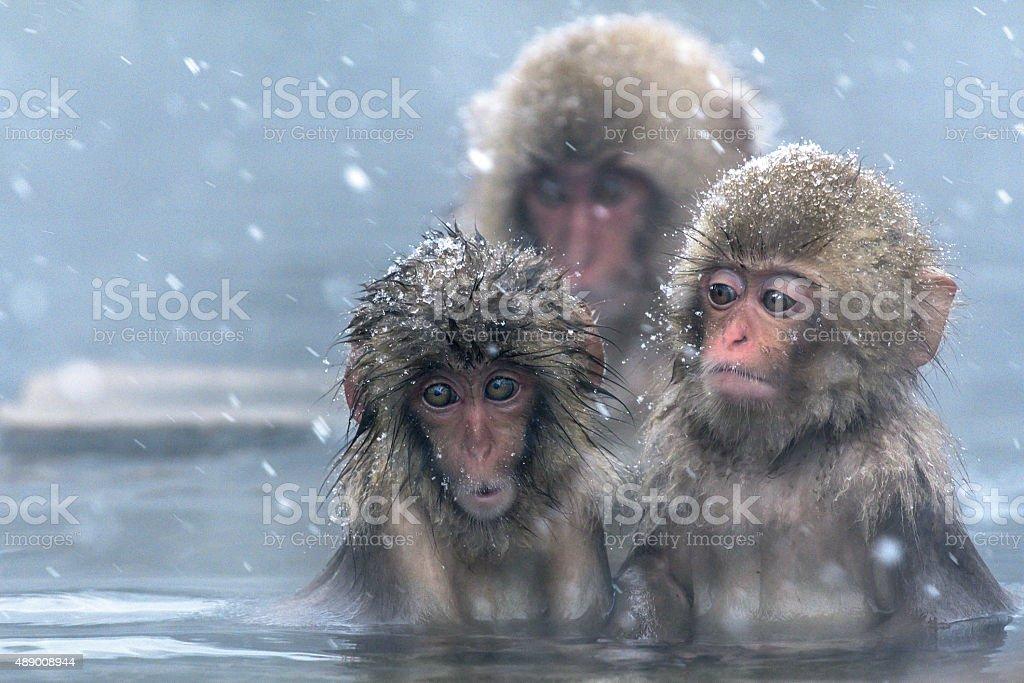 Confused snow monkeys stock photo