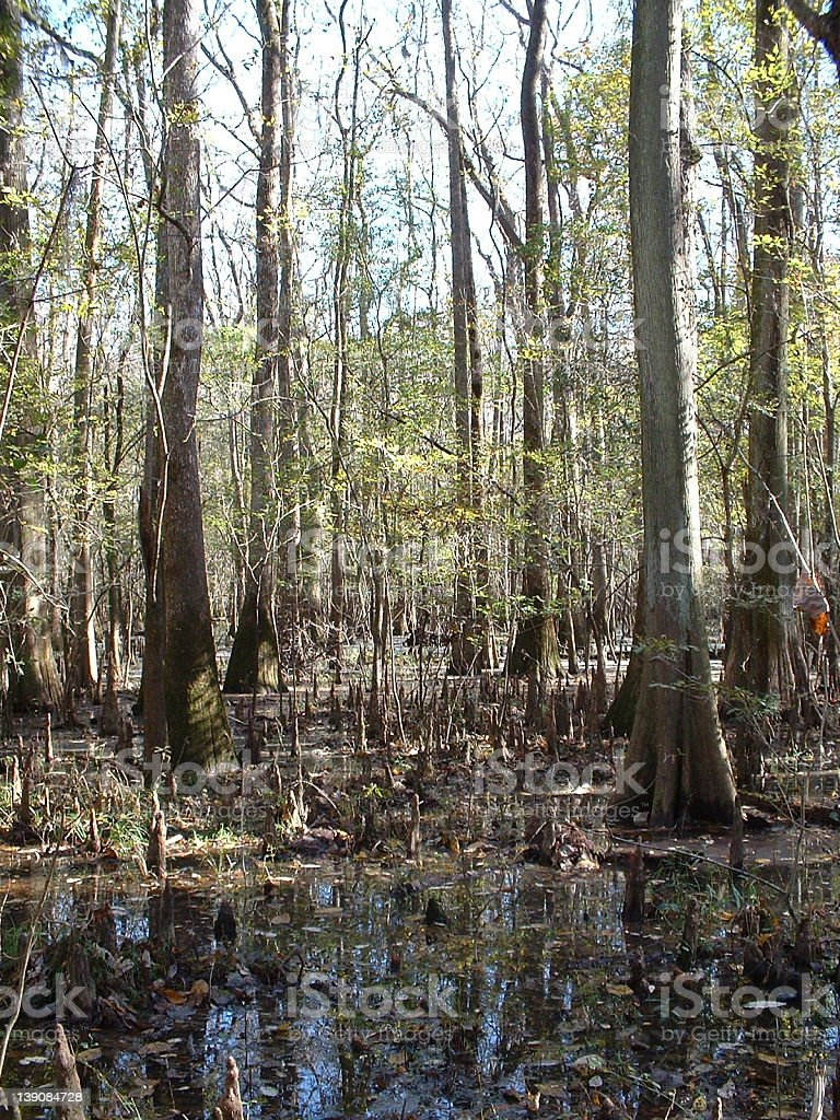Congaree Swamp royalty-free stock photo
