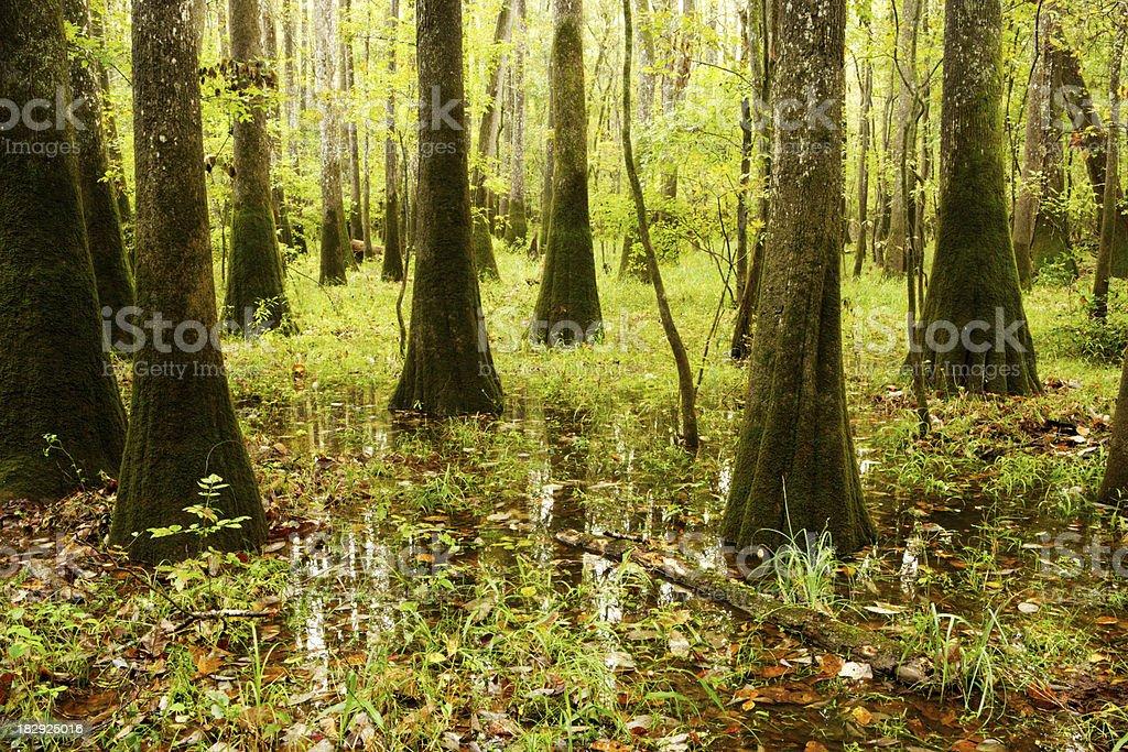 Congaree Swamp stock photo