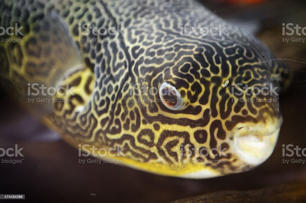 Congo Puffer Fish stock photo
