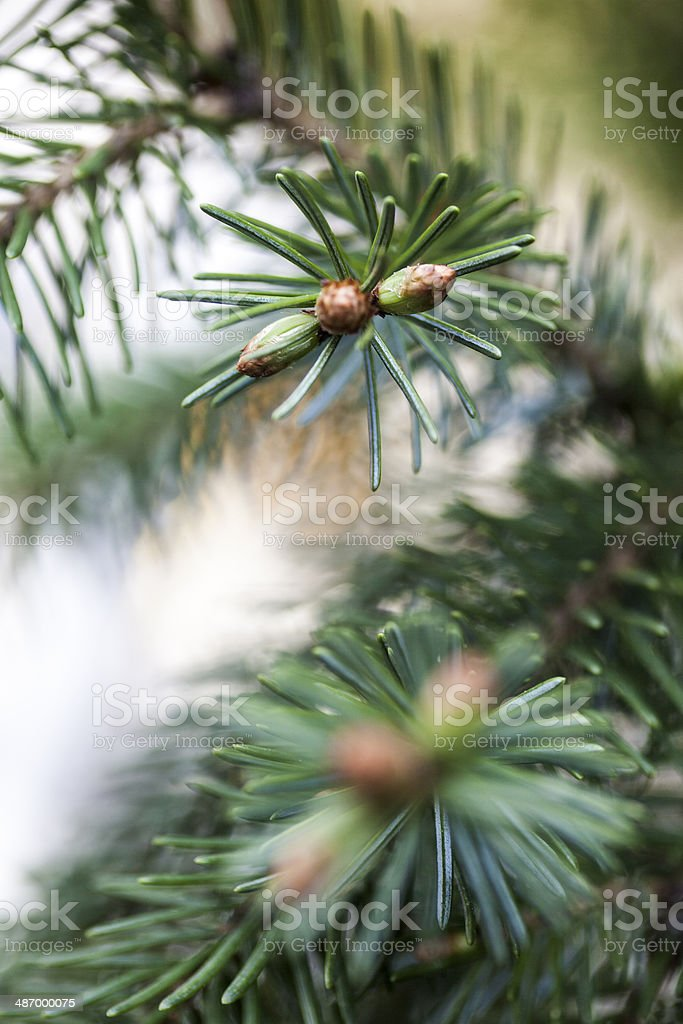 Conifer Bud stock photo