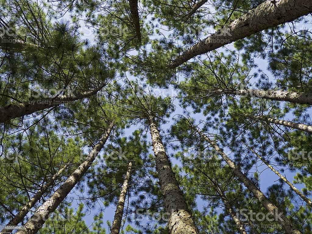 Conifer Canopy royalty-free stock photo