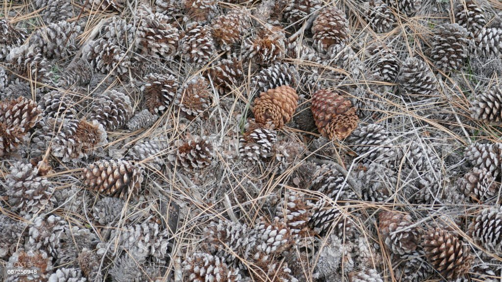 conifer cones, needles and sticks background stock photo