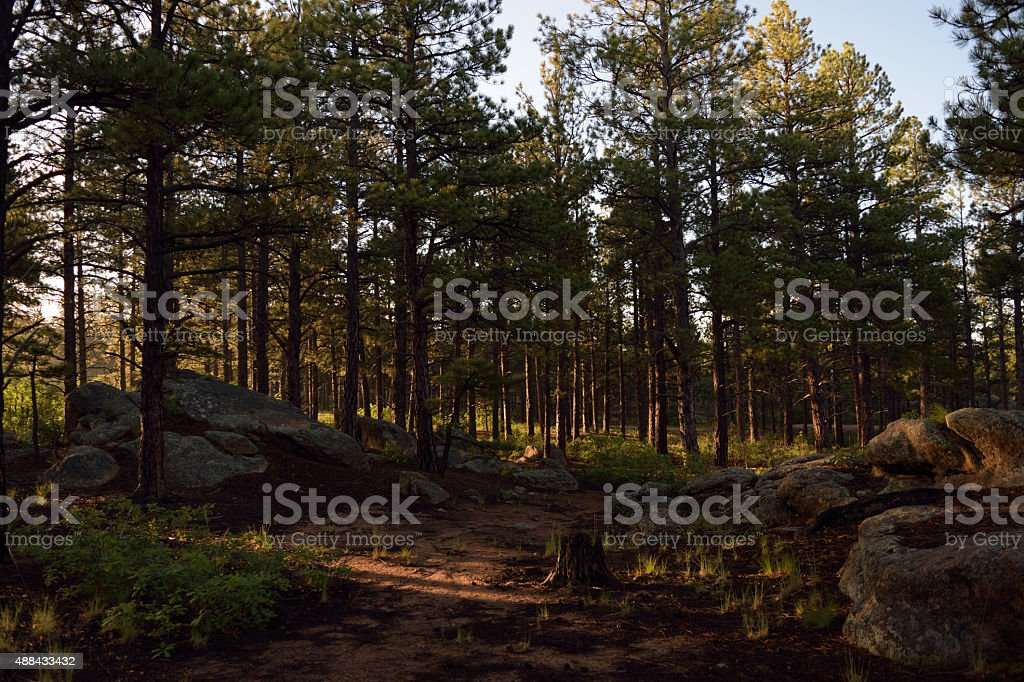 Conifer Forest durring Sunrise stock photo