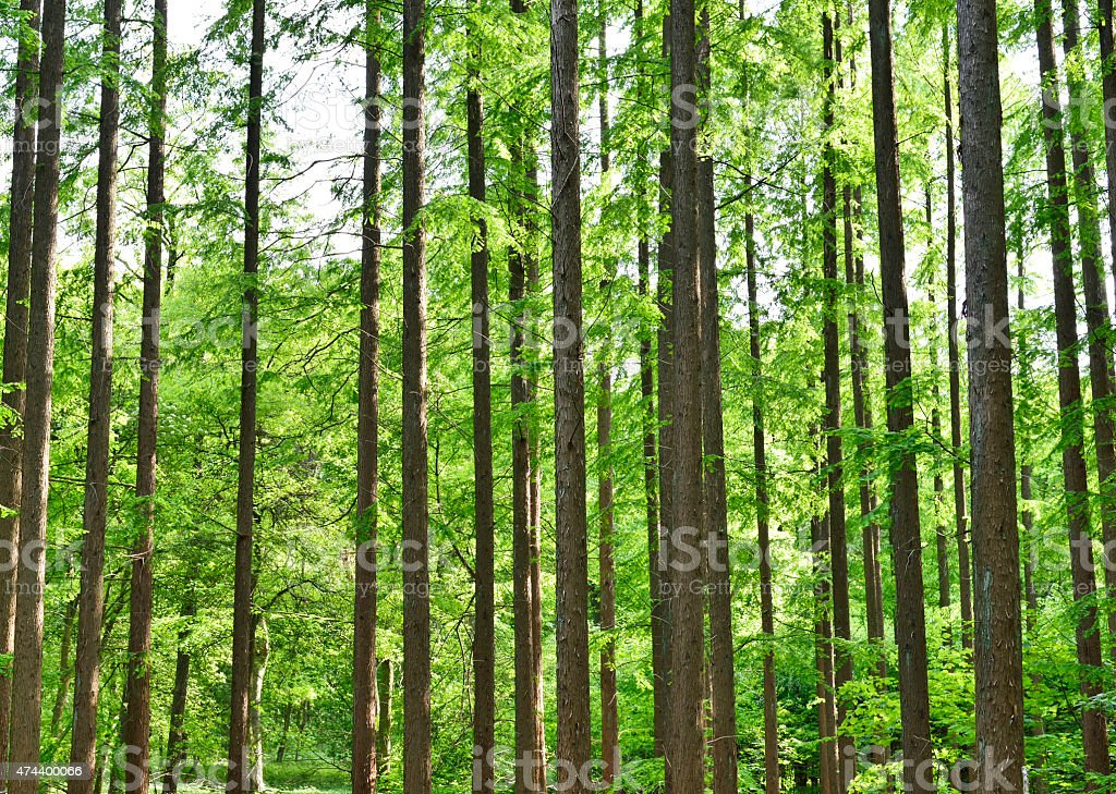 conifer forest stock photo