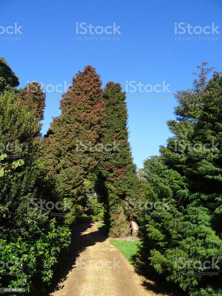 Conifer garden with evergreen cryptomeria tree arch / yew-tree-hedge, gravel path stock photo