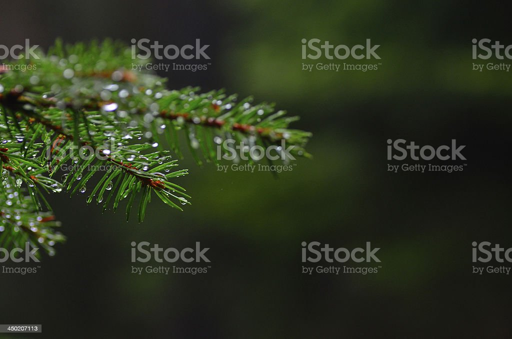 conifer in forest with green royalty-free stock photo