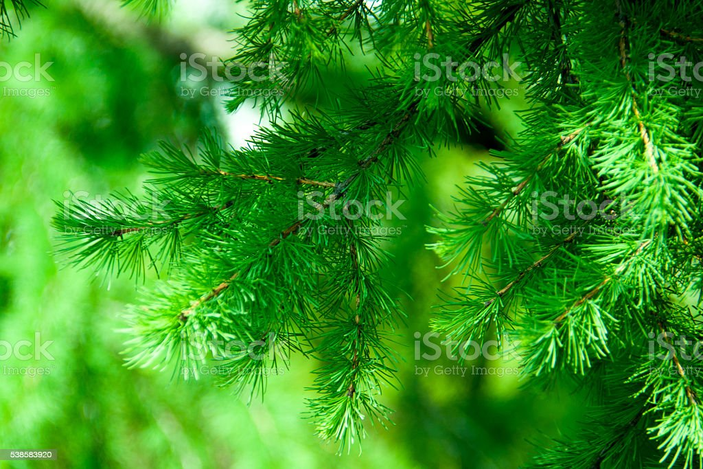 conifer larch stock photo